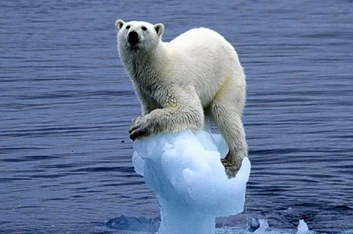 Polar bear on melting ice.jpg